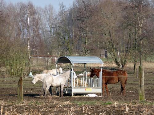 Paarden aan de ruif