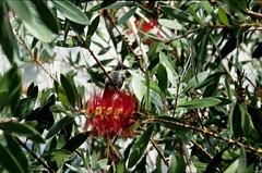 Hummingbird on Crimson Bottlebrush