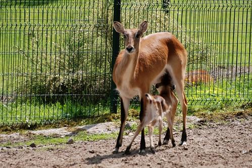Letschwe Antilope im Zoo Gdansk