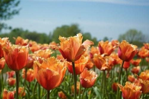 Tulip Time 2010