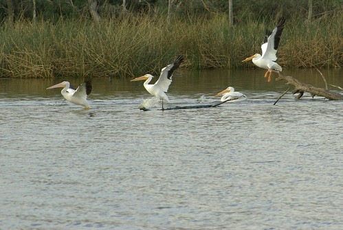 Pelicans on Armand Bayou