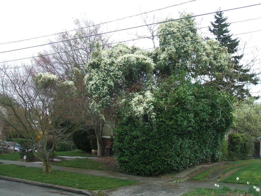 Flowering tree? Nope, Clematis armandii vine