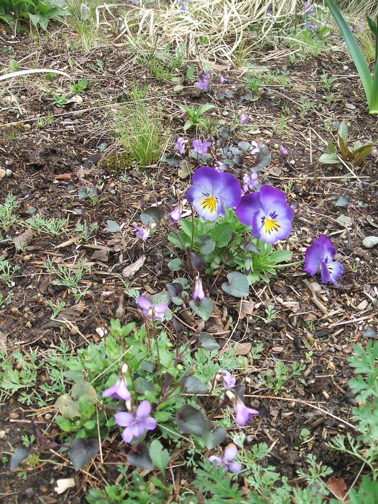 Weedy violets and volunteer pansies