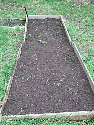 one hoed and weeded bed 2. Much better. Next for this bed: digging in some organic fertiliser to help oomph the fertility. Then give it a rest, and sow the peas and beans!