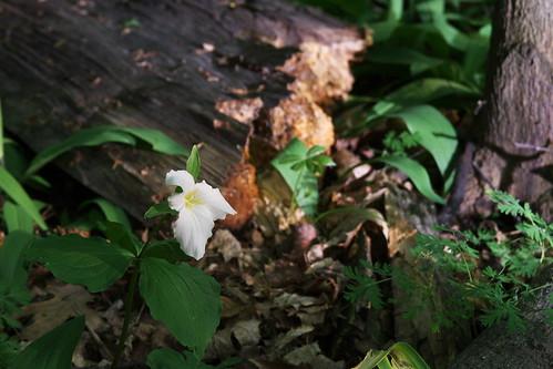 Last of the Trillium at Mildred Harris Sanctuary