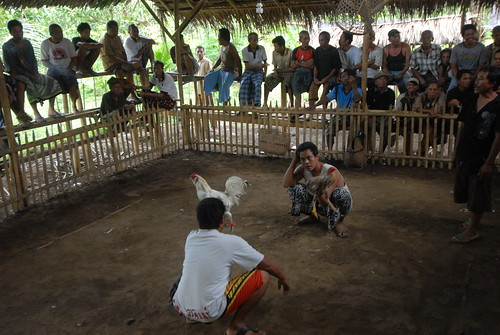 In a Balinese village, cockfights are a daily occurrence.