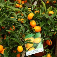 Kumquats !