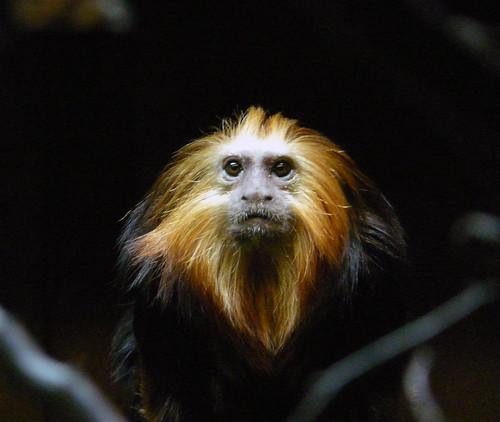 London Zoo marmoset
