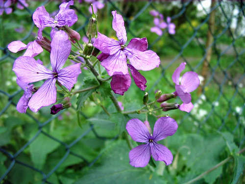 Blume Kugel Lila Cool Clematis Blte Blume Lila With Blume