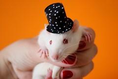 Linnus with Schroeder' top-hat