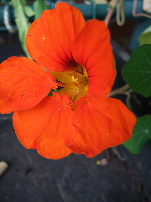 nasturtium flower - so very very orange!