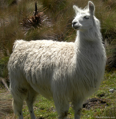 Ecuador - Parque Nacional Cajas - Llama