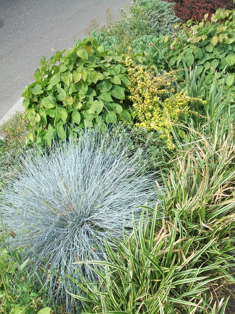 Blue fescue and epimediums