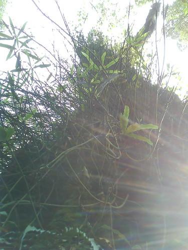 SALAK FOREST....POHON YANG SANGAT TUA