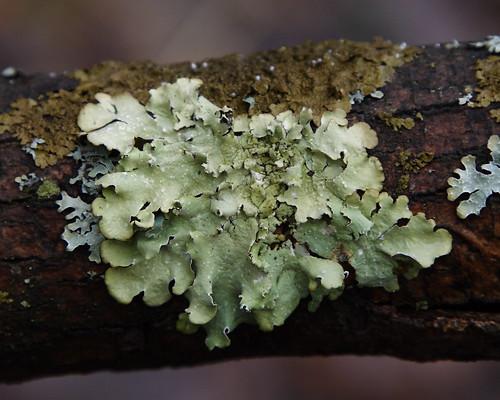 Lichens on a Dead Branch