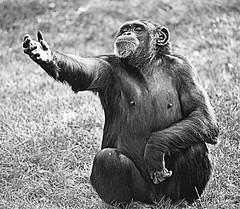 Chimp Does Hamlet