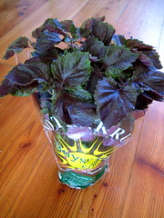 purple shiso