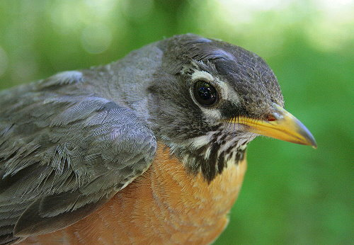 Adult female American Robin
