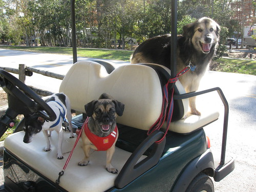 The dogs on the golf cart, heading for the dog park in Disneys Fort Wilderness Campground Resort