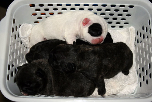 Basket Full of Puppies