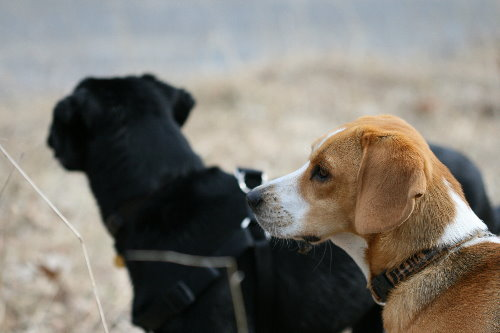 Raven and beagle friend