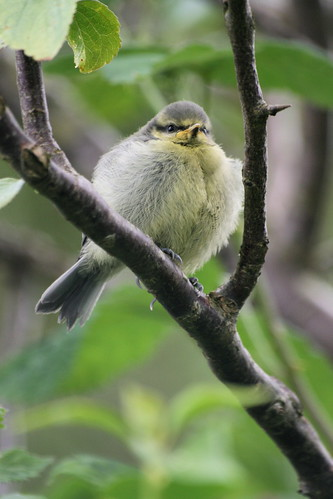 Young Blue Tit 3