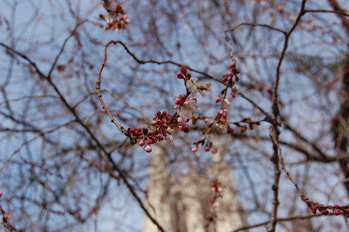 The first cherry blossoms at the National Cathedral