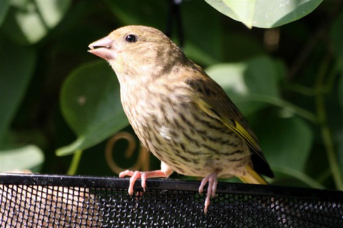 young Greenfinch 1.JPG
