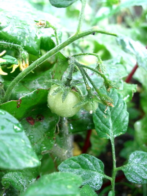 the first tomato growing...