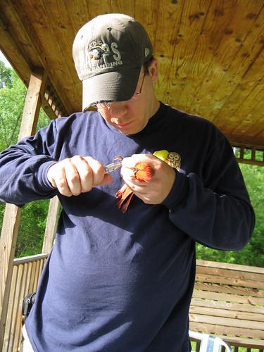 Banding a Cardinal 3
