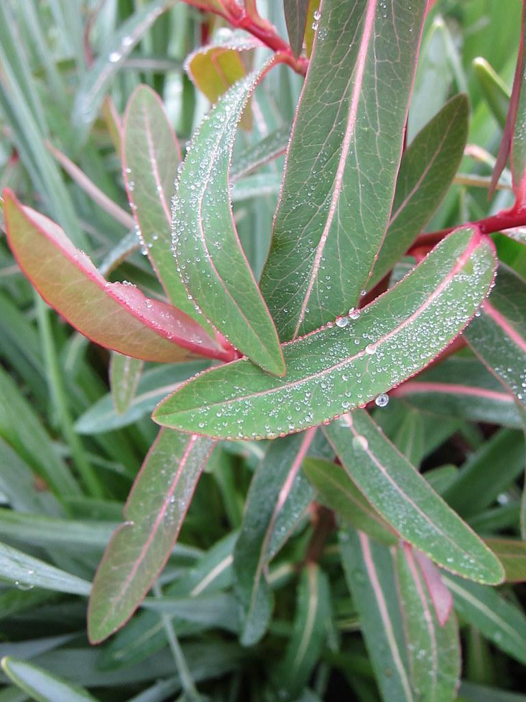 Euphorbia griffithii 'Fireglow' leaves