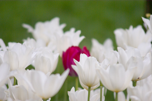 red tulip and white tulips, istanbul tulip festival, istanbul, pentax k10d