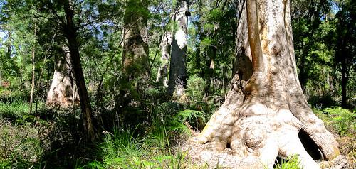 Impostante Baumstämme