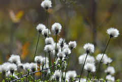 Cotton Grass At Alfred Bog
