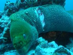 wounded moray eel