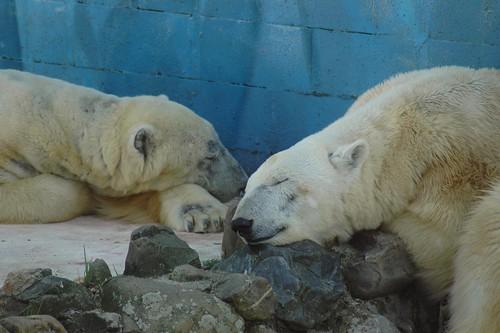 Eisbären im Monde Sauvage Safari Parc