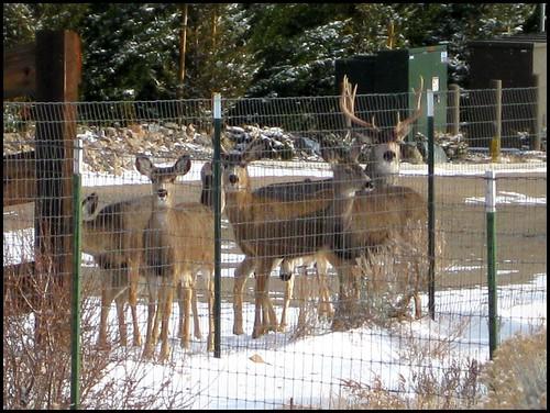 Trailhead Deer