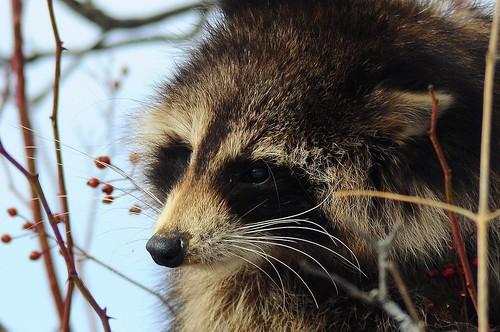 Raccoon Profile