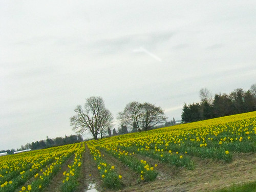 daffodil field (just passing by)