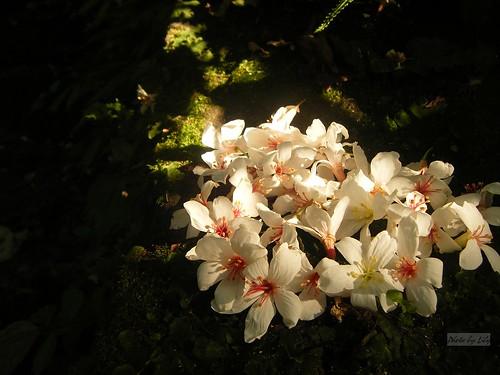 好夢幻的陽光與桐花。