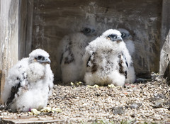 Four Grumpy Wacker Drive Chicks