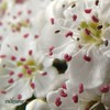 Hawthorn blossom 003 by endlesshue
