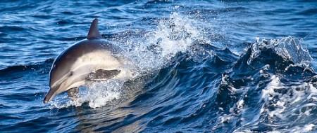 Common Dolphin - Photo : Nick Chill