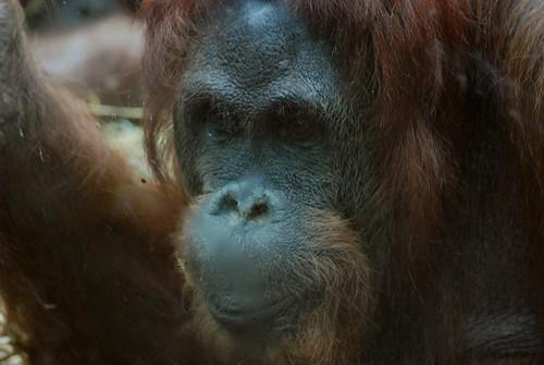Orang Utan Lotti  im Kölner Zoo