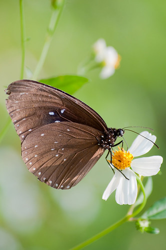 Nymphalidae - Euploea sylvester swinhoei