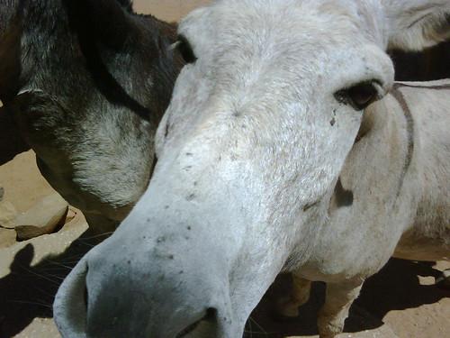 Cool Aruba Donkey