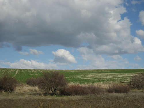 wheat field in Walla Walla