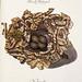 010-Nido del Ruiseñor-Colección de nidos de aves 1772