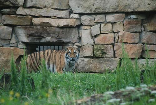 Sibirischer Tiger im Zoo Riga