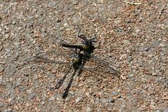 新治市民の森のヤマサナエ(Dragonfly at Niiharu Community Woods, Japan)